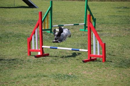 dog agility: a cocker spaniel that jump an obstacle of dog agility