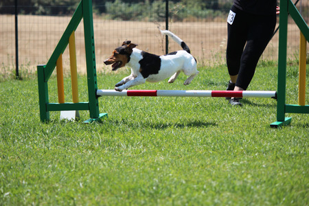 dog agility: a jack russell terrier that jump an obstacle of dog agility