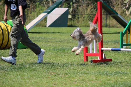 dog agility: a dog that jump an obstacle of dog agility