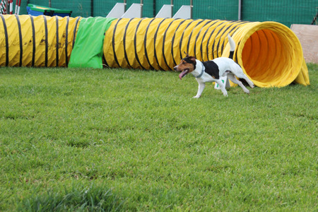 paw russell: a jack russell that exit of the tunnel Stock Photo
