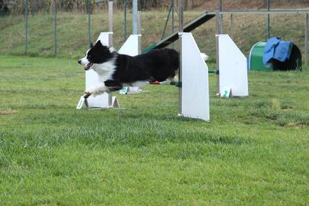 dog agility: a border collie that jump an obstacle of dog agility