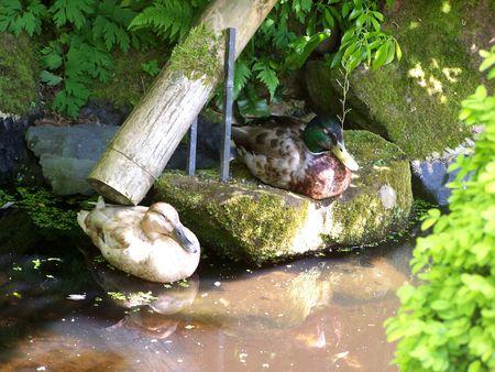 chilling out: Dos patos refrigeraci�n a cabo en el local del jard�n japon�s en mi parque