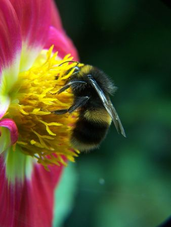 A bee on a flower in my garden photo