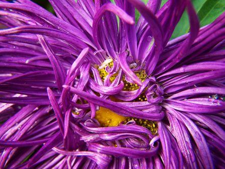 frizz: Purple flower Stock Photo