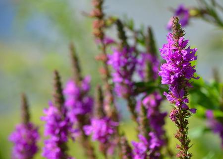 Purple Loosestrife British wild flower in bloom Stock Photo