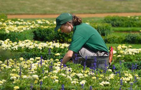 tending: Female gardener tending Flowers at Wrest Park Bedfordshire. Editorial