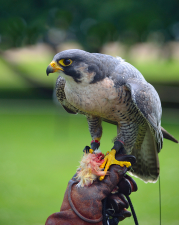 Peregrine Falcon on gloved hand.
