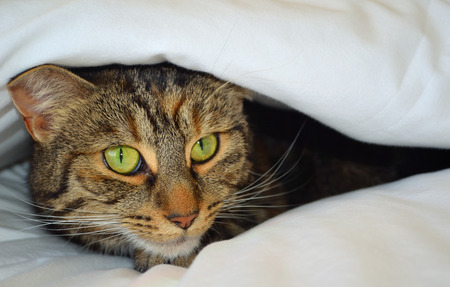 Cat Peeking out of covers