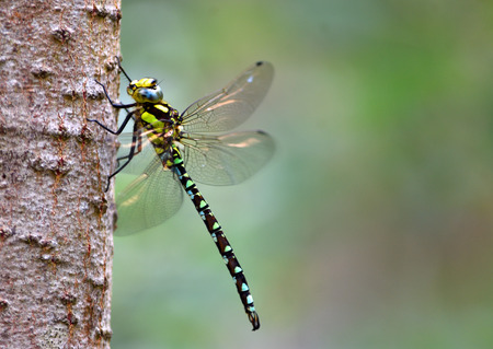 Common Hawker Dragonfly on Birch Trunk.  isolated with out of focus background