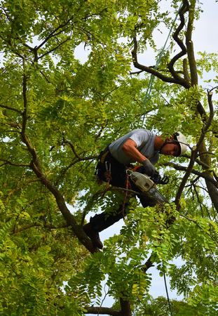 ST NEOTS, CAMBRIDGESHIRE, ENGLAND - SEPTEMBER 03, 2018: Tree Surgeon up tree with chainsaw trimming.
