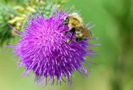 Early Bumblebee isolated on thistle flower out of focus background