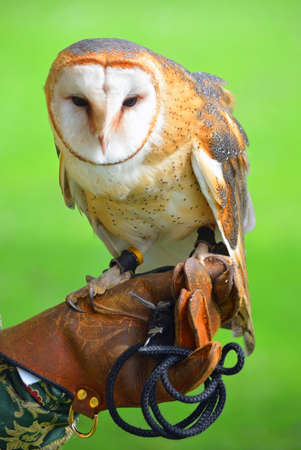 Close up of Barn Owl on Gloved Hand