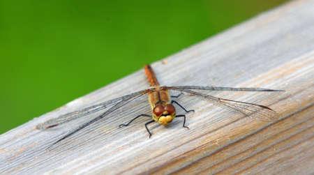 Common Darter Dragonfly  Female isolated on wooden handrail. Standard-Bild