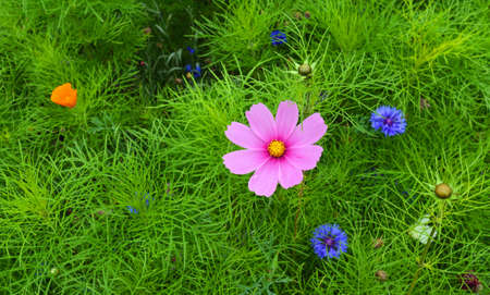 Cosmos  and Cornflower colourful  flower  background.