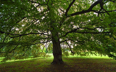 Under the canopy  of a large Beech tree looking out  though branches. Standard-Bild