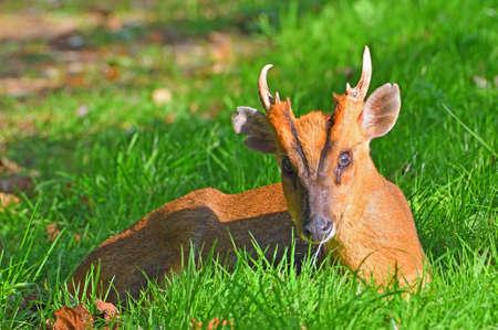 Muntjac Deer sitting on grass close up. Standard-Bild