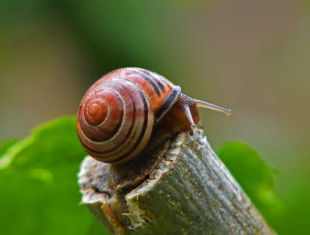 British Brown-lipped Snail  or Banded Snail on Shrub