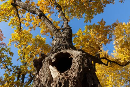 large hollow in a tree with yellow leaves on a background of blue sky.