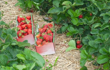 Two boxes with fresh red strawberrys on a field photo