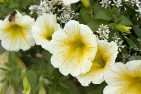 A string of White yellow flowers in a garden Stock Photo - 17070030