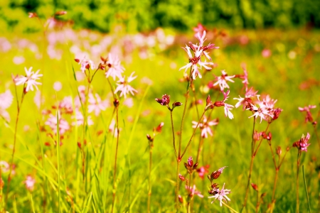 ragged robin: A field of flowers in full sunlight . the picture is toned  Stock Photo