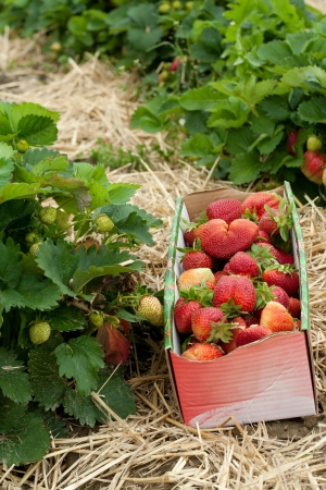 A box with strawberries in a strawberrie field Stock Photo - 17070160