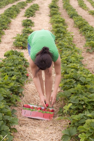A women is collecting strawberries in a strawberrie field Stock Photo - 17070154