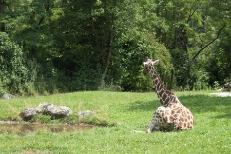 africa kiss: a giraffe sitting in the grass near a poun .