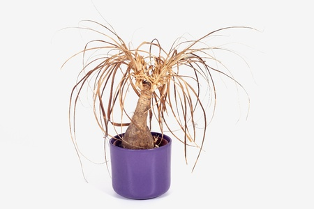 A withered plant in a lila pot Stock Photo - 17068775
