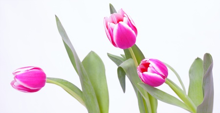 Colorful tulips in front of white background  Stock Photo - 18822266