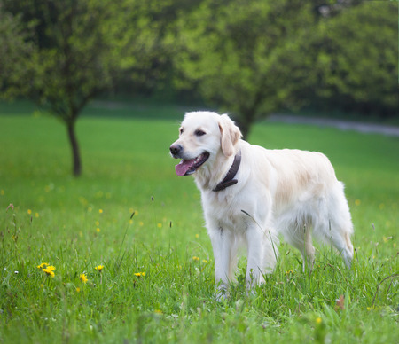 golden retriever: A one year old golden ret riever is standing in the green.