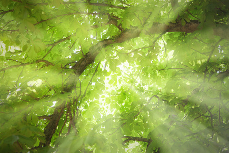 Sunbeams are shining trough a tree in the forest. summer picture. Picture is toned. photo