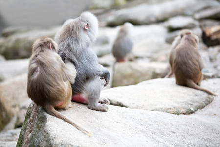 apes: One female baboon is lousing a older ape siiting on a stone. Two baboons in front of bokeh stones background with other apes. Stock Photo