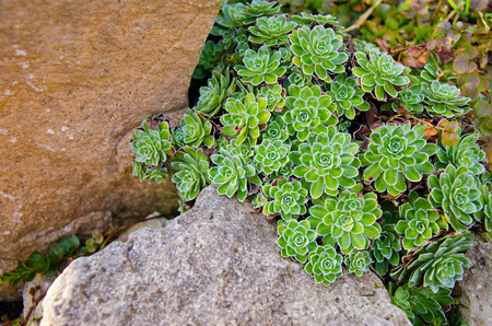 rockery: Saxifraga paniculata in rockery, Peak District. Stock Photo