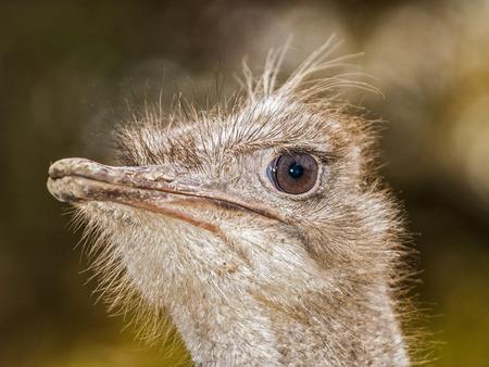 sharply: ostrich head, macro, very sharply Stock Photo