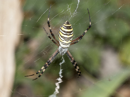chitin: striped spider on the web, macro