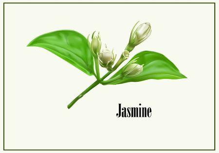 Jasmine flower icon vector illustration.