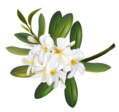 Plumeria flower realistic vector illustration