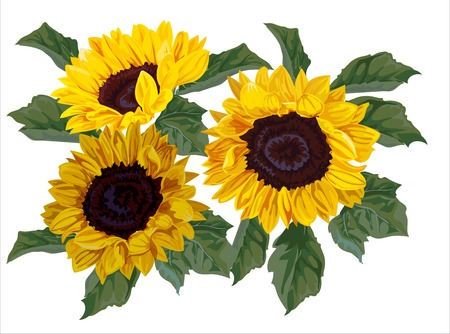 Sunflower vector illustration-vector