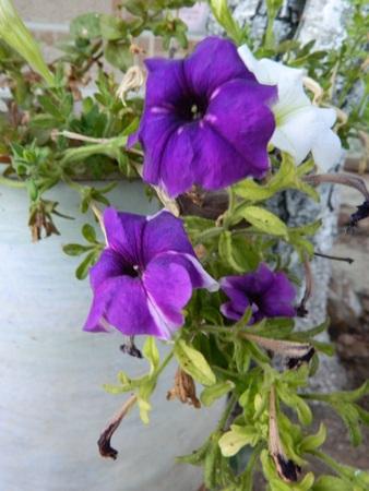 beatiful purple flowers closeup Stock Photo