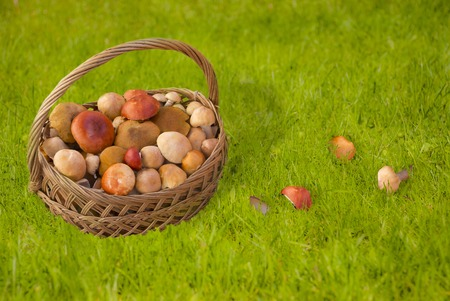 basketful: Fool basket with mushrooms in green grass