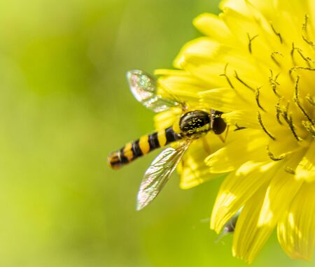 A small bee inside a beautiful yellow flower collecting pollen, macro photography