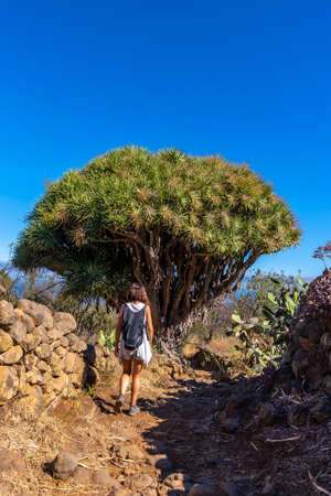 A young woman in a giant dragon tree on the Las Tricias trail. Garafia town in the north of the island of La Palma, Canary Islands