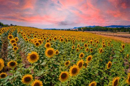 A beautiful field of sunflowers in a field of Castilla y León in the summer sunset. Spain