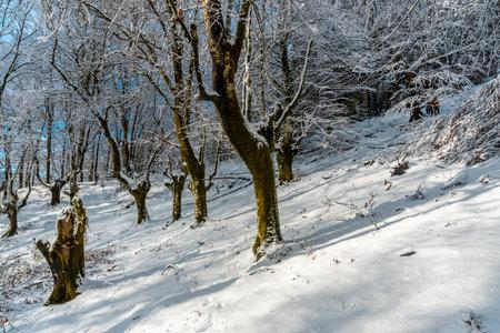 Winter landscapes in the snowy beech forest in the Artikutza natural park in oiartzun near San Sebastián, Gipuzkoa, Basque Country. Spain