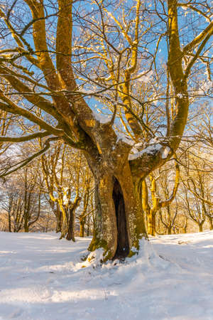 Oianleku Natural Park at sunrise, snowy beech forest in the town of Oiartzun in Peñas de Aya, Gipuzkoa. Basque Country