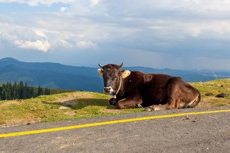 calas blancas: Vaca junto a la carretera Foto de archivo