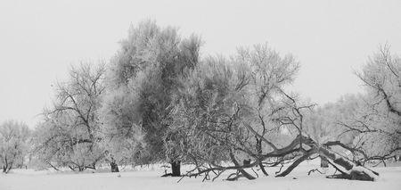 Fallen in the Fog - Trees in field near the Big Thompson River, Colorado Stock Photo - 2097451