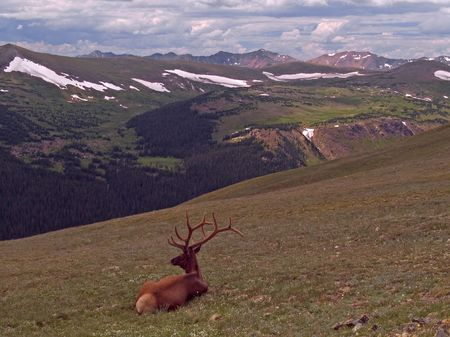 Resting Bull: bull elk (or wapiti) along trail ridge in Rocky Mountain National Park.  The Never Summer Mountains in the background. Stock Photo