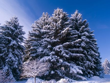 Frosted Evergreens and Blue Sky